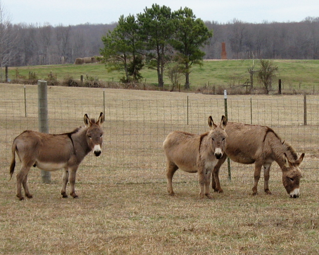 Farm donkeys - photo#18